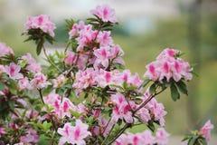 美丽的杜鹃花degronianum花特写镜头  库存图片