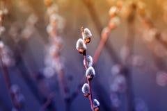 美丽的杨柳分支蓬松舒展对明亮的晴朗的spr 免版税库存图片