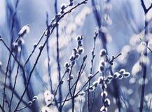 美丽的杨柳分支蓬松舒展对蓝色春天天空 免版税库存照片