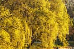 美丽的杨柳在春天 库存照片