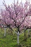 美丽的果树园开花的春天庭院 构成设计要素本质天堂 免版税库存图片