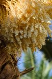 美丽的枣椰子开花 热带背景的夏天 免版税库存照片