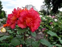 美丽的柔软光滑的桃红色玫瑰开花与被翻动的瓣的以都市花圃为背景 免版税图库摄影