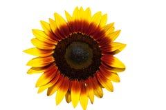 美丽的查出的向日葵 免版税图库摄影