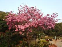 美丽的树在公园,班格洛,印度 免版税图库摄影