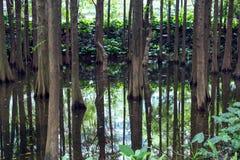 美丽的树干在河 在水反映的结构树 免版税图库摄影