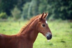 美丽的栗子驹画象在夏天 库存图片