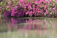 美丽的桃红色九重葛开花在水池旁边的绽放 库存图片
