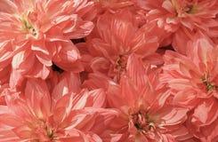 美丽的桃红色人为翠菊花背景  免版税库存图片