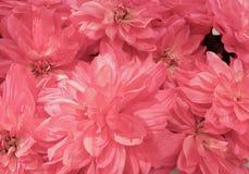 美丽的桃红色人为翠菊花背景  免版税库存照片