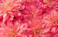 美丽的桃红色人为翠菊花背景  库存图片