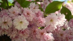 美丽的桃红色佐仓在春天庭院里开花 股票视频