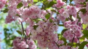 美丽的桃红色佐仓在春天庭院里开花 股票录像