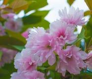 美丽的桃红色佐仓开花开花特写镜头 库存图片