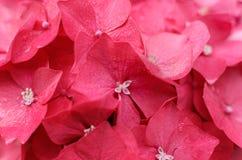 美丽的桃红色八仙花属花特写镜头照片  库存图片