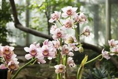 美丽的桃红色兰花在一个植物园里 免版税图库摄影