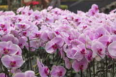 美丽的桃红色兰花在庭院里 图库摄影