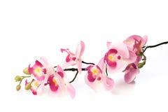 美丽的桃红色兰花植物兰花花,隔绝在白色背景影像 免版税库存图片