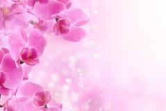 美丽的桃红色兰花花 库存图片