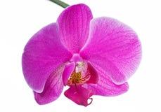 美丽的桃红色兰花 库存照片