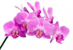 美丽的桃红色兰花 免版税库存照片