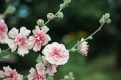 美丽的桃红色冬葵花在植物园里 库存图片