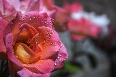 美丽的桃红色和白玫瑰 免版税库存图片