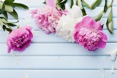 美丽的桃红色和白色牡丹在与拷贝空间的蓝色葡萄酒背景开花您的文本或设计的,顶视图 库存图片