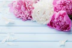 美丽的桃红色和白色牡丹在蓝色葡萄酒背景开花 免版税库存照片