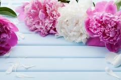 美丽的桃红色和白色牡丹在蓝色葡萄酒背景开花 库存图片
