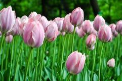 美丽的桃红色和白色郁金香 桃红色郁金香在庭院里 图库摄影