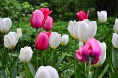 美丽的桃红色和白色郁金香 桃红色郁金香在庭院里 免版税库存照片