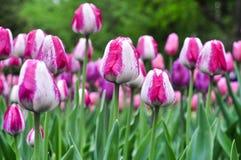 美丽的桃红色和白色郁金香 桃红色郁金香在庭院里 免版税库存图片
