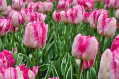 美丽的桃红色和白色郁金香 桃红色郁金香在庭院里 库存照片