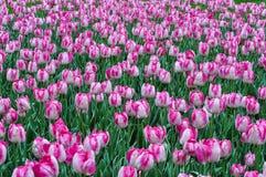 美丽的桃红色和白色郁金香 桃红色郁金香在庭院里 库存图片