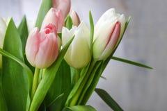 美丽的桃红色和白色郁金香 免版税图库摄影