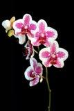 美丽的桃红色和空白兰花 免版税库存照片