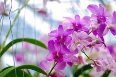 美丽的桃红色和紫色兰花花 图库摄影
