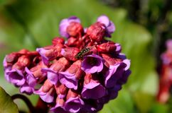 美丽的桃红色和红色心脏岩白菜属花在夏天阳光下 库存照片