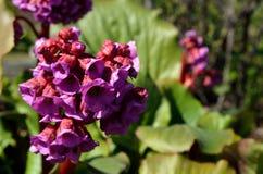 美丽的桃红色和红色心脏岩白菜属花在夏天阳光下 免版税库存照片