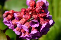 美丽的桃红色和红色心脏岩白菜属花在夏天阳光下 库存图片