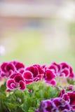 美丽的桃红色和紫罗兰色大竺葵在庭院里开花 免版税图库摄影