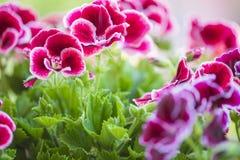 美丽的桃红色和紫罗兰色大竺葵在庭院里开花 免版税库存图片