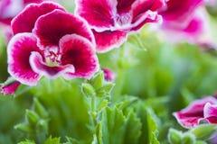 美丽的桃红色和紫罗兰色大竺葵在庭院里开花 免版税库存照片