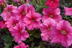 美丽的桃红色喇叭花花喇叭花hybrida 免版税库存照片