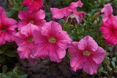 美丽的桃红色喇叭花花喇叭花hybrida 库存照片