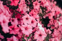 美丽的桃红色喇叭花花在庭院里关闭  图库摄影