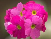 美丽的桃红色四季不断的报春花或樱草属或者樱草属西洋樱草在春天开花 免版税库存图片
