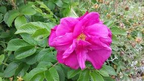 美丽的桃红色夏天花 免版税库存图片