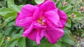 美丽的桃红色夏天花 库存图片